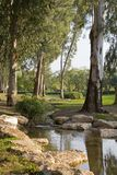 Creek in the park with Eucaliptus. Royalty Free Stock Images