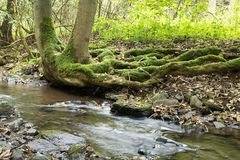 Creek with roots of tree in rainy wather. Oparno. Czech Republic stock image