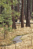 Creek Through Tall Trees In Forest Stock Image