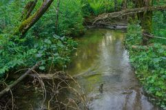 Creek trees roots water forest summer season Royalty Free Stock Image