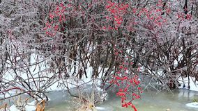A creek in winter with freezing rain and red berries stock video