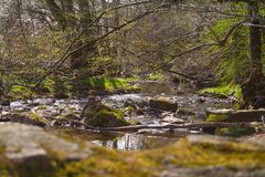 Creek in the woods with stones. A stream in the wild nature of germany with mossy stones, wood and trees Stock Image