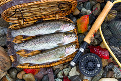 Creel with Native Trout. Top view of native wild trout, inside of fishing creel, with fly reel, pole and late autumn leaves on wet river bed stones Stock Photos