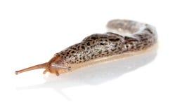 Creep dappled slug. On white background stock photography