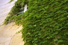 Creeper Вирджинии стоковые изображения