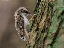 Creeper дерева - familiaris Certhia Стоковое Изображение