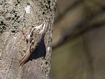 Creeper дерева - familiaris Certhia Стоковое Изображение RF