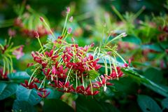 Creeper Рангуна, цветок матроса Drunen Стоковое Изображение RF
