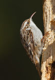 Creeper. Tree creeper looking for food Stock Image