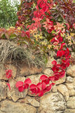 Creeper in autumn. Stone wall with creeper in autumn Stock Photography