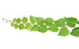 Creeper  barb with green  leaves. Creeper barb with green  leaves isolated Stock Images
