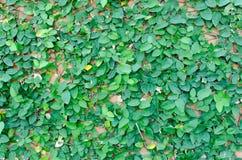 Creeper on brick. Creeper color green on brick Royalty Free Stock Photos