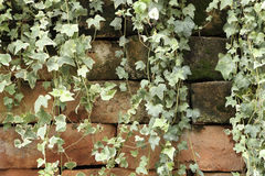 Creeper climbing on dirty old brick wall Royalty Free Stock Image