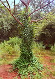 Creeper covered wild tree Royalty Free Stock Photography