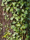 Creeper em uma árvore Imagens de Stock Royalty Free