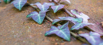 Creeper leaf on tree in forest Stock Photography