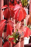 The Creeper. Photograph of glowing Virginia Creeper climbing up staircase, with attractive dark blue berries that some birds love, but bad for humans.  Autumn Stock Photos