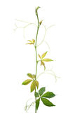 Creeper plant. Virginia creeper plant branch isolated on white background Stock Image