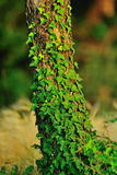 Creeper plant. A tree trunk covered up by a green creeper royalty free stock images