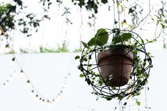 Creeper plant in clay pot hanging from the ceiling royalty free stock photos