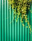 Creeper plant Stock Image