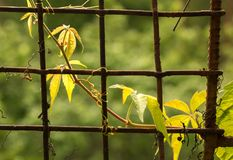 Creeper plant growing on iron net fence Royalty Free Stock Photos