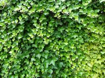 Creeper plant. Leaves in different shades of green Royalty Free Stock Images