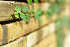 Creeper plant on old bricks wall.shallow depth of field Royalty Free Stock Photography