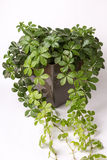 Creeper plant in pot flowing out of picture. Creeper plant in flower pot flowing out of picture Royalty Free Stock Image