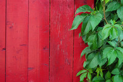 Ivy on the fence. Creeper plant on the red painted wooden fence Royalty Free Stock Images