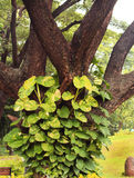 Creeper plant on tree Royalty Free Stock Images