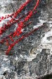 Creeper rosso Fotografie Stock