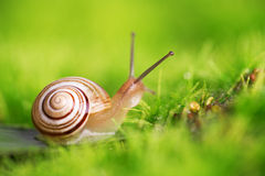 Creeper snail after rain on the grass. Royalty Free Stock Image