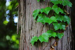 Creeper on the trunk Royalty Free Stock Photos