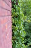 Creeper Vine. Growing on a wall Royalty Free Stock Photos