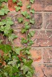 Creeper on the wall. The creeper on the old brick wall Stock Photo