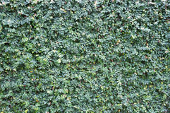 Creeper Wall Covering Royalty Free Stock Image