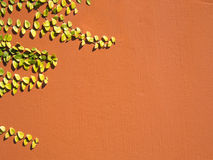 Creeper1. Landscape photo of creeping plant on terra-cotta wall royalty free stock image