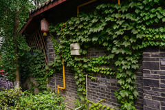 Creepers on brick wall of Chinese old building Royalty Free Stock Images