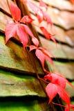 Creepers di Virginia di autunno Immagini Stock