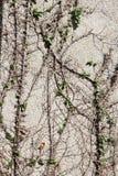 Creepers e videiras na parede Fotos de Stock