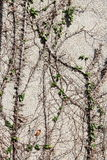 Creepers e viti sulla parete Fotografie Stock