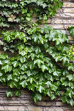 Creeping. Wonderful Ivy and vines creeping up a rock wall Stock Images