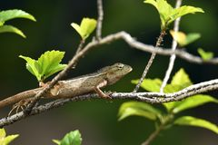 The creeping animals that live in these trees are called grayish brown chameleons. That creep branches against the backdrop of green leaves royalty free stock photography