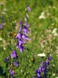 Creeping bellflower (Campanula rapunculoides) royalty free stock images