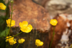 Free Creeping Buttercup Ranunculus Repens Royalty Free Stock Image - 94890356