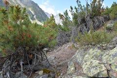 Creeping cedar on the slopes of the Barguzin range. Stock Photos
