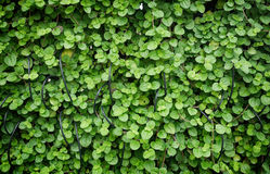 Creeping charley leaves background Royalty Free Stock Photo