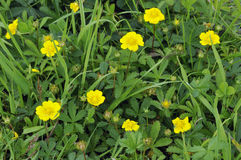 Creeping Cinquefoil Stock Photography