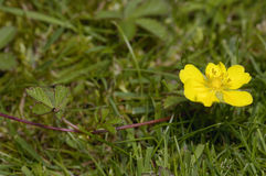 Creeping Cinquefoil Royalty Free Stock Image